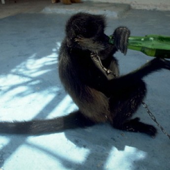 Aj opice majú radi pivo