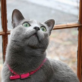 russian-blue-cat-grey-cat-breeds