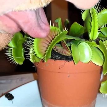 Mäsožravá rastlina