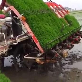 Číňania sadia ryžu