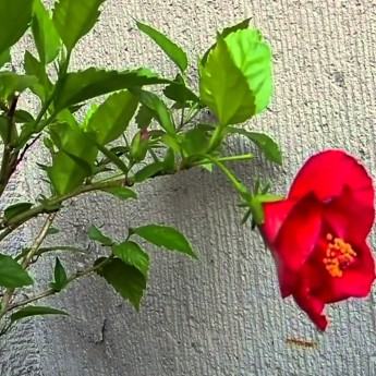 Rozkvet kvetu